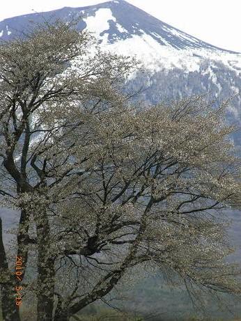 桜5.16.jpg