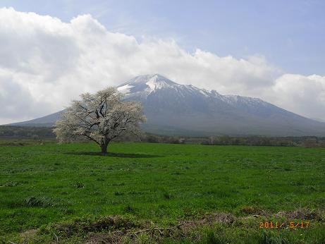 H23 桜.jpg